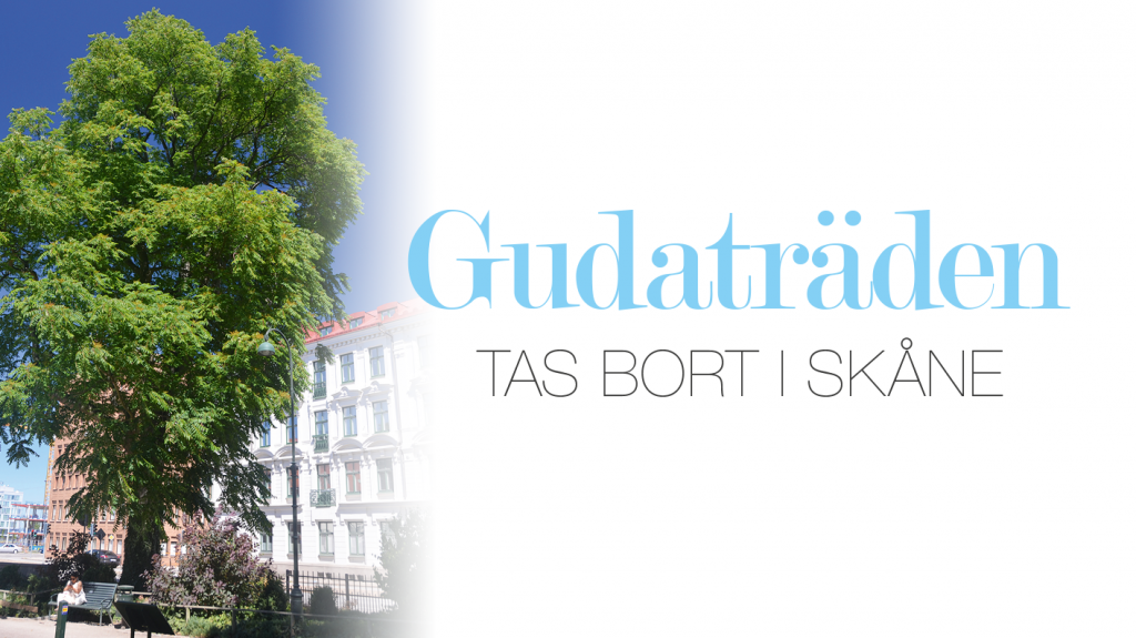 Gudaträden tas bort i Skåne
